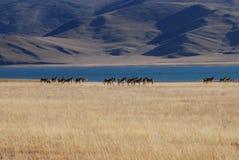 Lakes in  Tibet. Wild donkeys  standing besides a lake Royalty Free Stock Image