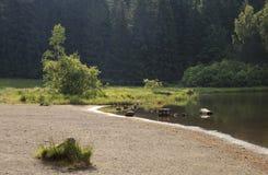 Lakeshore en het bos Stock Afbeelding