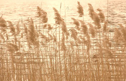Lakeshore with reed in soft browns Stock Photos