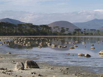 Lakeshore and tropical woodland. Soda lakeshore view, Elementata Lake, Kenya Royalty Free Stock Photos