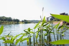 Lakeside aquatic grass at sunny noon Royalty Free Stock Images