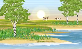 Lakeside, birch grove and meadow. Two cows eat grass. stock illustration