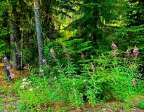 Lakeside Blossoms. Wildflowers by Tule Lake - Cascade range - near Marion Forks, OR Royalty Free Stock Photo