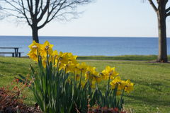 Lakeside Daffodils Stock Photography