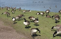 Lakeside Geese Stock Image