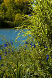 Lakeside nature. Green plants close-up with water in the background Royalty Free Stock Image