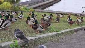Lakeside rookery of ducks and pigeons stock video