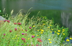 Lakeside summer wildflowers Stock Photography