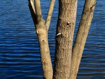 Lakeside Tree and Blue Water Royalty Free Stock Photo