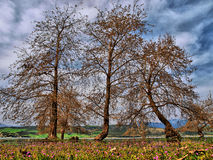 Lakeside trees. A low-level, ground view of three trees beside Lake Aliakmonas in Greece royalty free stock photos