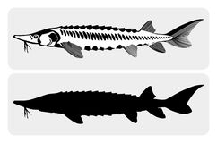 LakeSturgeon Stock Images