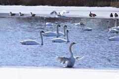 lakeswan Fotografering för Bildbyråer