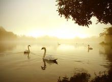 lakeswan royaltyfri foto