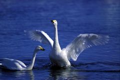 lakeswan royaltyfria bilder