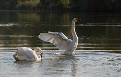 lakeswans arkivfoton