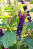 Lakonos bonitos da flor fotografia de stock royalty free