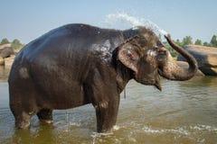 Lakshmi, слон виска принимает ее ванну в реке Стоковое фото RF