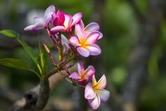 Lal Gulachin als Lal Kath Golap wordt bekend dat Botanische naam Plumeria Rubra in Dhaka, Bangladesh Stock Afbeeldingen