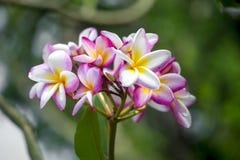 Lala Gulachin znać jako Lala Kath Golap Botaniczny imię Plumeria Rubra przy Dhaka, Bangladesz Fotografia Stock