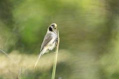 Lalang de crochet de Parrotbill de tache-breasted en nature Photo libre de droits