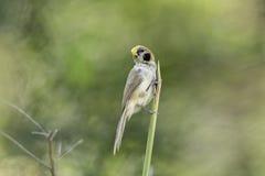 Lalang de la captura de Parrotbill del punto-breasted en naturaleza Fotos de archivo