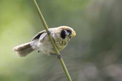 Lalang de la captura de Parrotbill del punto-breasted en naturaleza Imágenes de archivo libres de regalías