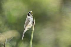 Lalang de la captura de Parrotbill del punto-breasted en naturaleza Fotografía de archivo
