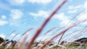 Lalang Field - Imperata Arundinacea stock video