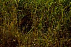 Lalang gräs Royaltyfria Bilder