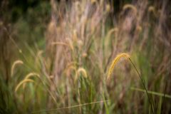 Lalang Grasses with bokeh background royalty free stock photo