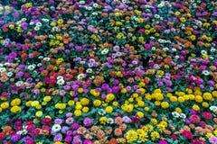 Lalbagh exhibición floral enero de 2019 - exhibición mezclada de las flores imagenes de archivo