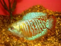 Lalia de Colisa do ljalius dos peixes do Aquarian Imagem de Stock Royalty Free