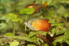 lalius рыб colisa аквариума Стоковые Фото