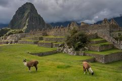Lamé machu-Picchu Stock Foto's