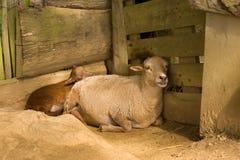 lam πρόβατα Στοκ Φωτογραφία
