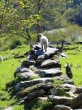 Lam, avontuurlijk, op steenmuur in zonlicht Stock Fotografie