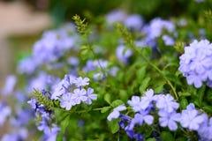 Lam azul bonito do auriculata da plumbagina do nome da flor fotografia de stock
