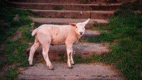 Lam bij Glastonbury-Piek stock foto's
