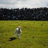 Lam Derbyshire Engeland Stock Foto's