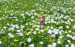Field blooming hydrangeas on hill beautiful winter morning. Lam Dong, Vietnam - November 28, 2017: Field blooming hydrangeas on hill beautiful winter morning Royalty Free Stock Photo