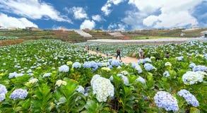 Field blooming hydrangeas on hill beautiful winter morning. Lam Dong, Vietnam - November 28, 2017: Field blooming hydrangeas on hill beautiful winter morning Royalty Free Stock Photos