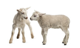 Lam en geitjong geitje (8 weken oud) Royalty-vrije Stock Foto's