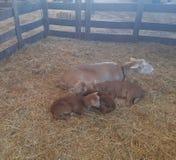 Lam en hun jonge geitjes Stock Foto