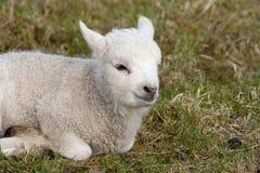 Lam, Lamb stock photos