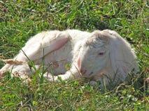 Lam met de zachte witte wol op het gazon in de bergen Stock Foto's