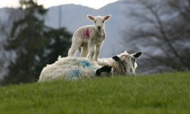Lam met schapen Stock Afbeelding