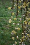Lam-staarten stock afbeelding