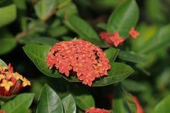 Lam In volle Blüte Ixora chinensis Stockbild