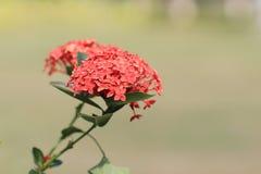 Lam In volle Blüte Ixora chinensis Lizenzfreie Stockbilder