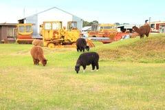 Lam zwierzęta na gospodarstwie rolnym Zdjęcie Royalty Free